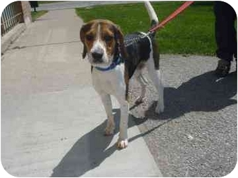 Porthos | Adopted Dog | Barrie, ON | Beagle/Foxhound Mix