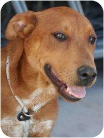 Retriever (Unknown Type)/Shepherd (Unknown Type) Mix Dog for adoption in Tucson, Arizona - Zorro