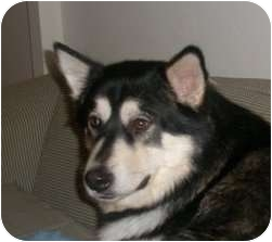 Alaskan Malamute Dog for adoption in Belleville, Michigan - Fiyero--Adopted!