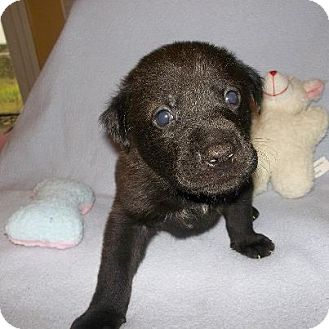 Labrador Retriever Mix Puppy for adoption in Shirley, New York - Hershey
