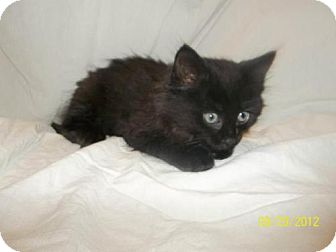Domestic Mediumhair Kitten for adoption in Oxford, New York - Blair