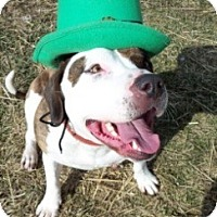 American Staffordshire Terrier Mix Dog for adoption in Cedar Rapids, Iowa - Casey