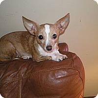 Adopt A Pet :: Pearl - Apex, NC