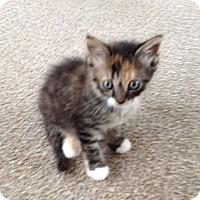 Adopt A Pet :: Calico - Orlando, FL