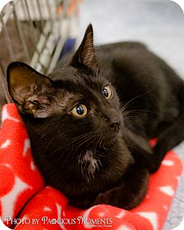 Domestic Shorthair Cat for adoption in Long Beach, California - Pico