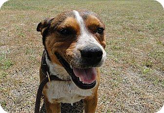 Bulldog/Blue Heeler Mix Dog for adoption in St. Cloud ...