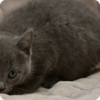 Adopt A Pet :: Ana - Reston, VA