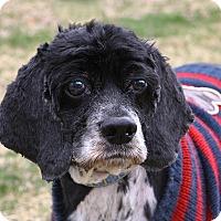 Cocker Spaniel Dog for adoption in Oakland, New Jersey - Sammy