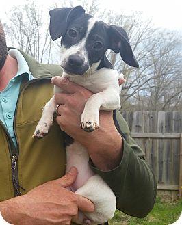 Dachshund/Jack Russell Terrier Mix Puppy for adoption in Battleboro, Vermont - Rosie-9 pounds