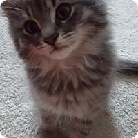 Adopt A Pet :: Fluffernutter - Stafford, VA