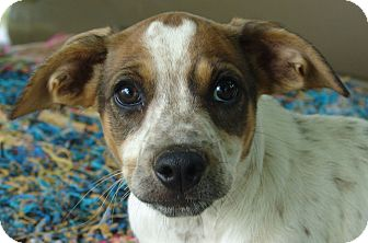 Beagle/Blue Heeler Mix Puppy for adoption in Staunton, Virginia - Janga