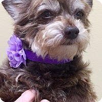 Adopt A Pet :: Angel - Oswego, IL