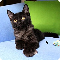 Adopt A Pet :: I'M KATIE! I'M A FLUFFY SNUGGLY BLACK SMOKE BEAUTY - jacksonville, FL