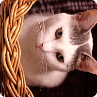 American Shorthair Cat for adoption in New York, New York - York