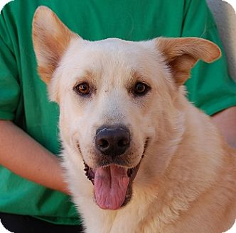 German Shepherd Dog/Labrador Retriever Mix Dog for adoption in Las Vegas, Nevada - King