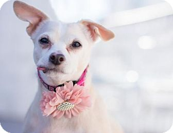 Chihuahua Dog for adoption in Caldwell, New Jersey - Sara Rose ~ Precious Flower
