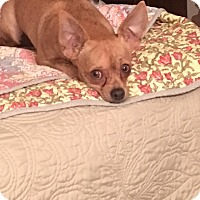 Chihuahua Dog for adoption in Ardmore, Oklahoma - Edward