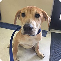 Labrador Retriever Puppy for adoption in Jay, New York - Oliver