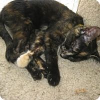 Domestic Mediumhair Kitten for adoption in Westminster, California - Ellie
