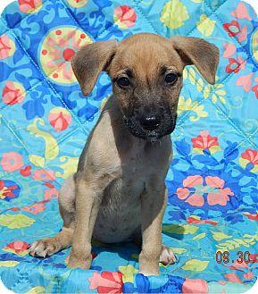 Boxer/Retriever (Unknown Type) Mix Puppy for adoption in Niagara Falls, New York - Teagan (6 lb) Video!