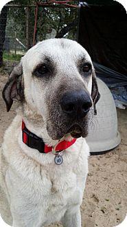 Anatolian Shepherd/Great Pyrenees Mix Dog for adoption in San Antonio, Texas - Louie