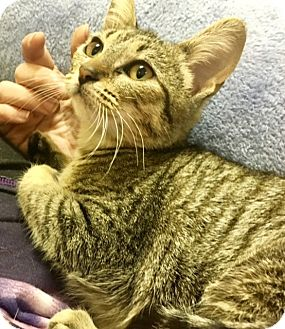 Domestic Shorthair Kitten for adoption in Sherman Oaks, California - Flash