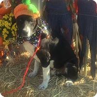 Adopt A Pet :: Dru - Joliet, IL
