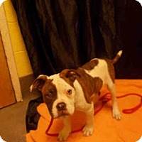 Adopt A Pet :: *ANGEL - Upper Marlboro, MD