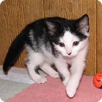 Adopt A Pet :: Paniz (baby girl) - Harrisburg, PA