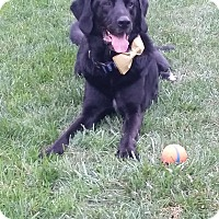 Adopt A Pet :: Bear - Keswick, ON