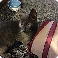 Domestic Shorthair Cat for adoption in Sterling Heights, Michigan - Dugal