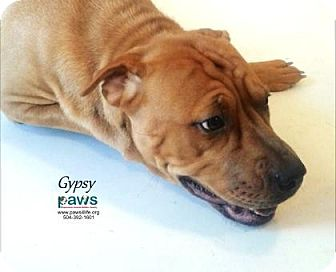 Shar Pei/American Bulldog Mix Dog for adoption in Belle Chasse, Louisiana - Gypsy