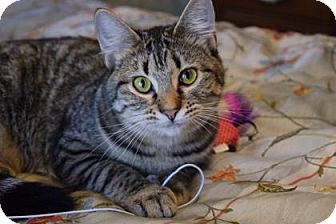 Domestic Shorthair Kitten for adoption in Wichita, Kansas - Allie