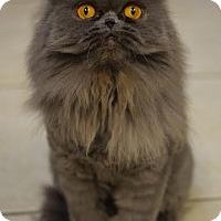 Persian Cat for adoption in DFW Metroplex, Texas - Rose Tyler