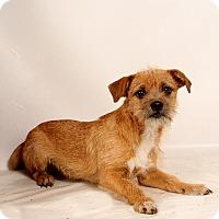 Adopt A Pet :: Donner Terrier Mix - St. Louis, MO