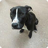 Adopt A Pet :: Snickerdoodle *Petsmart GB* - Appleton, WI