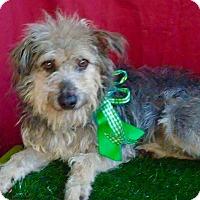 Adopt A Pet :: ROCKY - Santa Monica, CA
