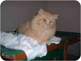 Domestic Longhair Cat for adoption in Lethbridge, Alberta - Simba