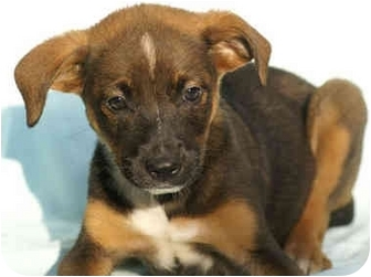 Border Collie/Labrador Retriever Mix Puppy for adoption in Portland, Maine - Parker