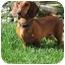 Photo 3 - Dachshund Dog for adoption in Garden Grove, California - Brutus