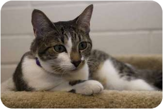 Domestic Shorthair Kitten for adoption in New Port Richey, Florida - Ruby