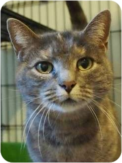 Domestic Shorthair Cat for adoption in Ocean City, New Jersey - Georgia