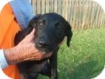 Labrador Retriever Mix Puppy for adoption in East Hartford, Connecticut - Penny in Ct