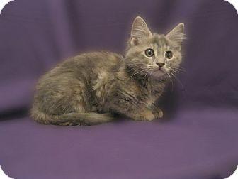 Domestic Mediumhair Kitten for adoption in Richmond, Virginia - Kenu & Kana