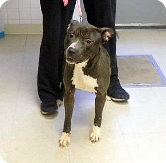 American Pit Bull Terrier/Labrador Retriever Mix Dog for adoption in Tinton Falls, New Jersey - Blizz