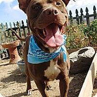 Adopt A Pet :: Yoda - Toluca Lake, CA
