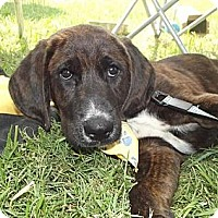 Adopt A Pet :: PUPPY FRED!! - Huntsville, TN