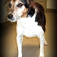 Jack Russell Terrier Mix Dog for adoption in Orlando, Florida - Coby