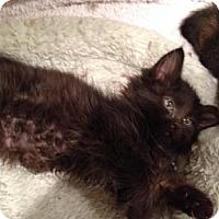 Adopt A Pet :: Inca - East Hanover, NJ