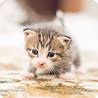 Adopt A Pet :: Shaymus - Fountain Hills, AZ